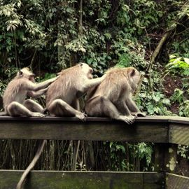 Playing with Monkeys in the Monkey Forest Sangeh