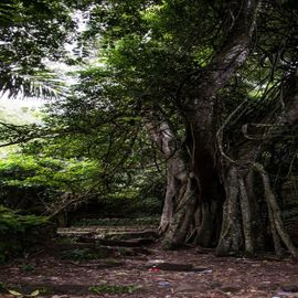 Taru Menyan Tree: The Sacred Tree in the Trunyan Village Cemetery