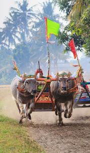Makepung, Festival Tradition of Buffalo Racing was Lively after Absent for A Decade