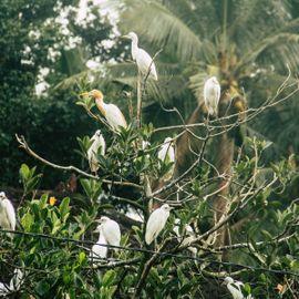 Welcoming the Kokoan Flock in the Petulu Village