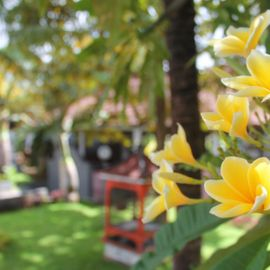 Frangipani, A Beautiful Flower with a Million Meanings