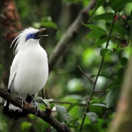 Meet the Special Bali Starling in the West Bali National Park