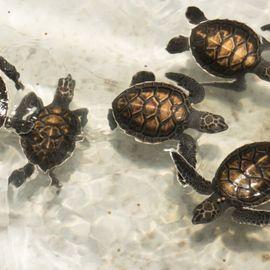 Get Closer to Turtles in Perancak Turtle Conservation